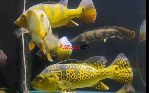 Nekad Aquatic Jual Ikan Peacock Bass Padang