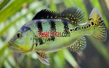 Jual Ikan Predator Peacock Bass Padang